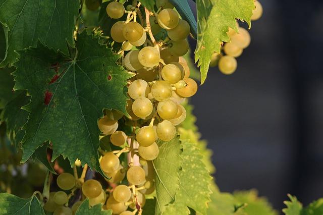 trs hroznového vína