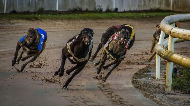 závodící greyhoundi
